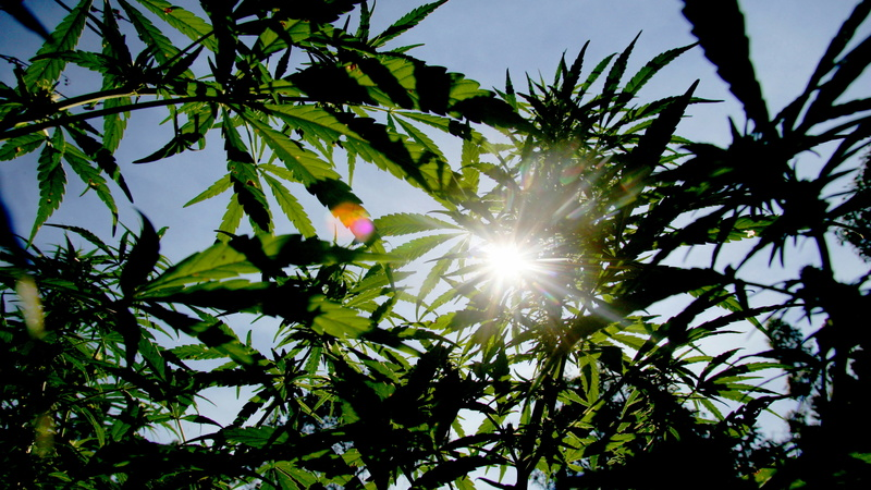 High times over for Swaziland cannabis farmers?