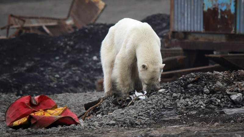 Polar bear wanders into Russian city