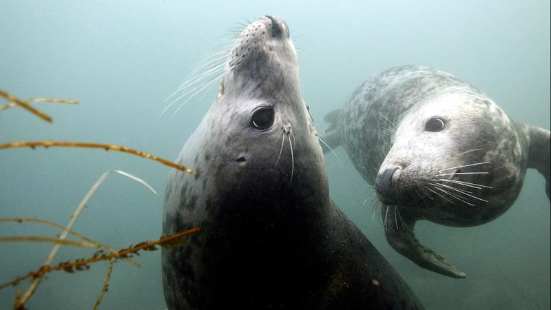 Grey seals mimic human speech and music
