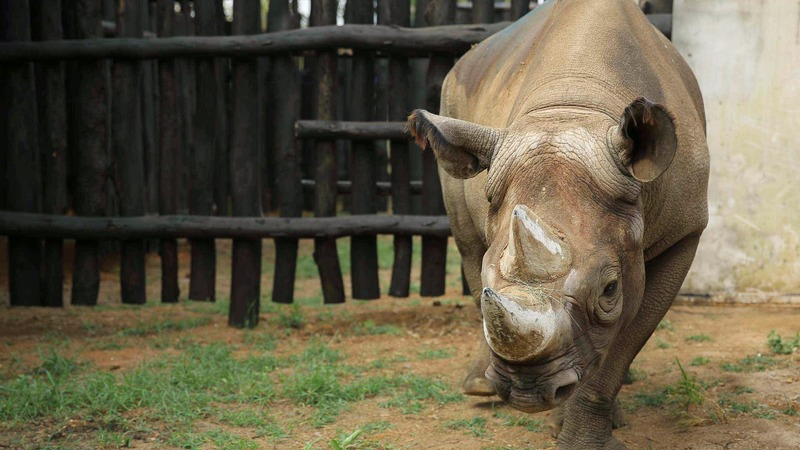 Rhinos make epic journey from Europe to Africa