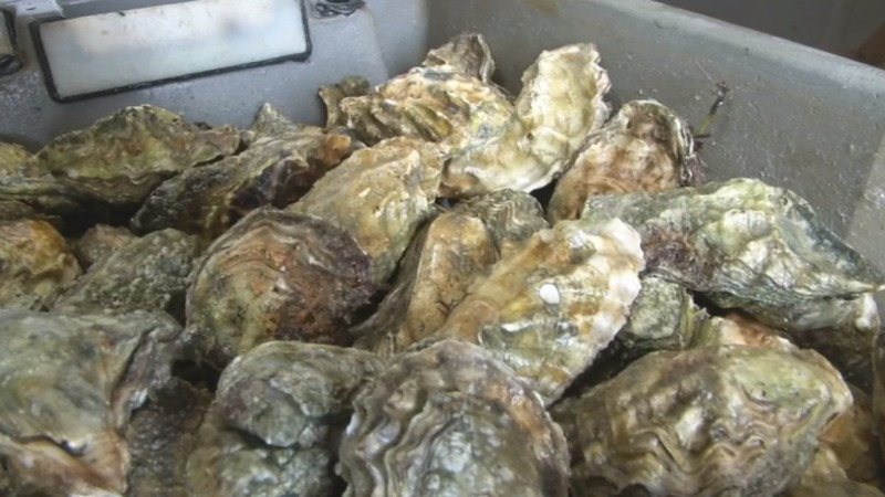 Old shells recycled in UK to halt oyster decline