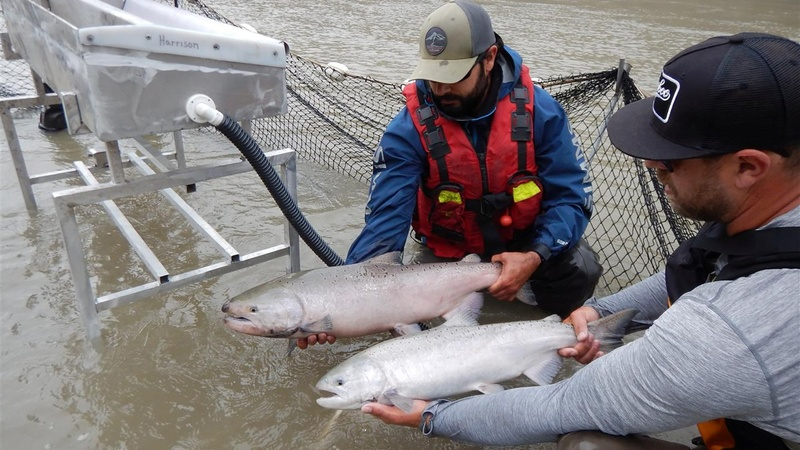 Canada to airlift thousands of trapped salmon