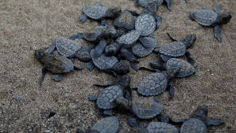 Sargasso turtles threatened by high levels of microplastic