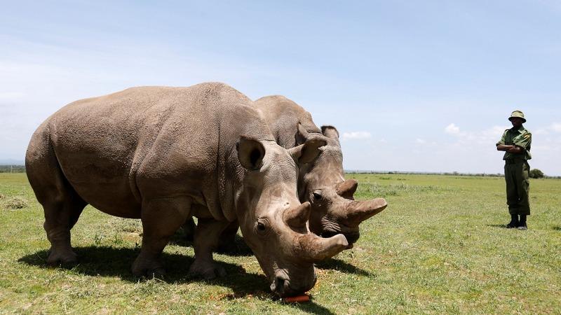 Eggs of last northern white rhinos fertilized
