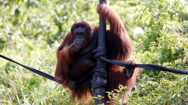 Orangutans at risk as Indonesia moves capital