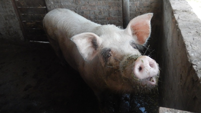 As swine fever rages, China scours world for pork