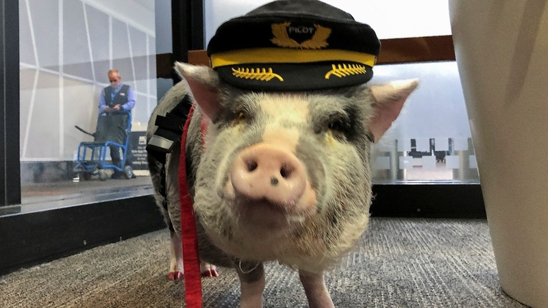 Airport therapy pig hogs the limelight