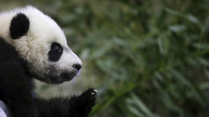 National Zoo to bid Bei Bei, bye bye
