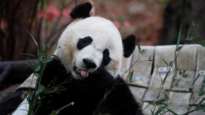Bei Bei takes 'Panda Express' to China