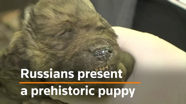 Russian scientists unveil prehistoric puppy