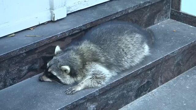 Was dazed German raccoon drunk before being shot dead?
