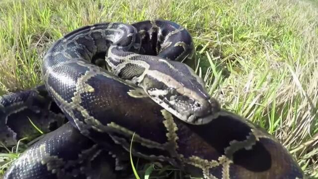 Florida's python hunters wrestle invasive snakes